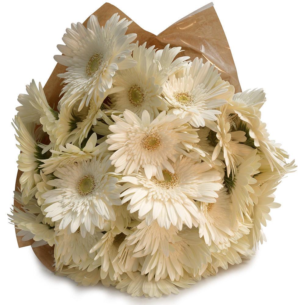 White Gerberas